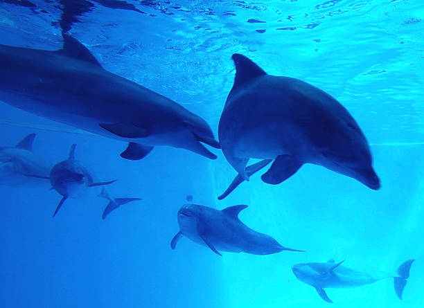 dolfins  - delfinschule - animals in captivity stock pictures, royalty-free photos & images