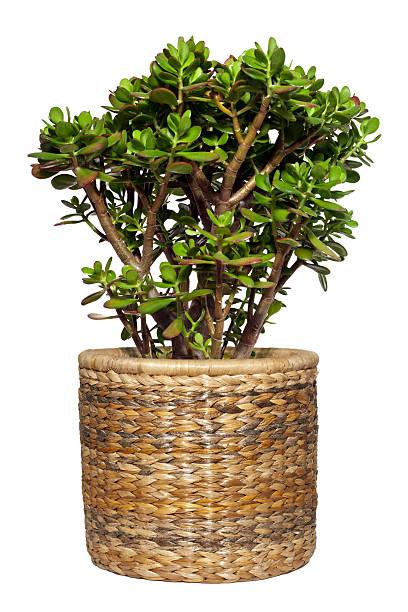 Dollar plant or money tree cutout stock photo