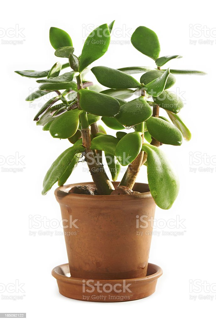 Dollar plant or money tree (Crassula ovata) stock photo