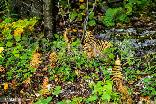 istock Dolly Sods in Monongahela National Forest with colorful yellow brown and green foliage on fern plants in autumn fall season in West Virginia forest floor closeup 1322534101