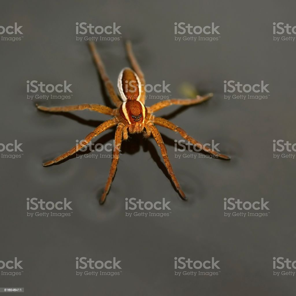 Dolomedes fimbriatus from above stock photo