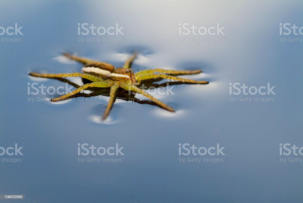 Dolomedes fimbriatus on Blue Water stock photo