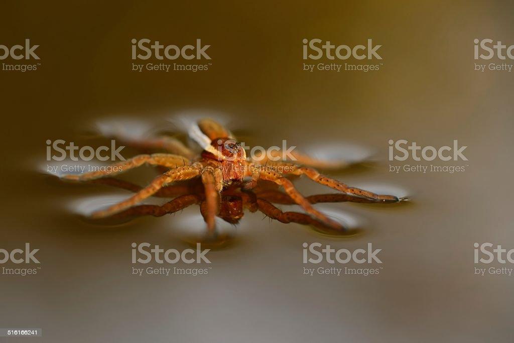 Dolomedes fimbriatus stock photo