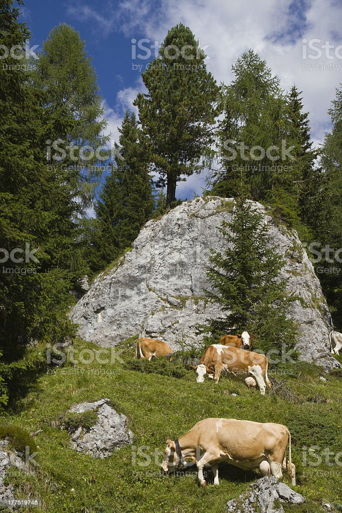 Dolomites - Cows at pasture in mountain (Italy) stock photo