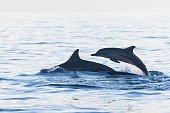 Dolphin Beach Lovina Bali, Dolphin Jumping