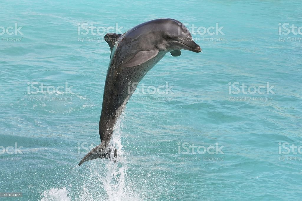 Dolphin Bottlenose royalty-free stock photo