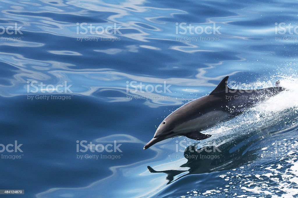 Dolphin Breaching stock photo
