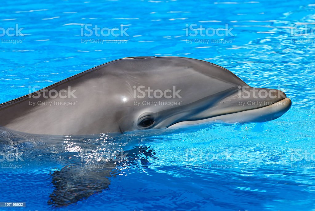 Dolphin Close-up royalty-free stock photo
