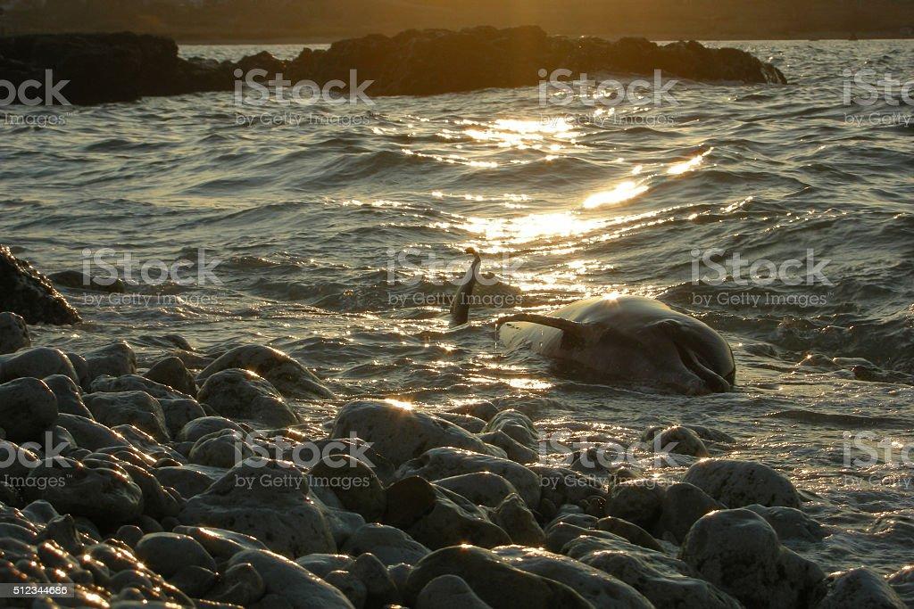 dolphin dead sea ocean nature pollution kill mortal sunset stock photo