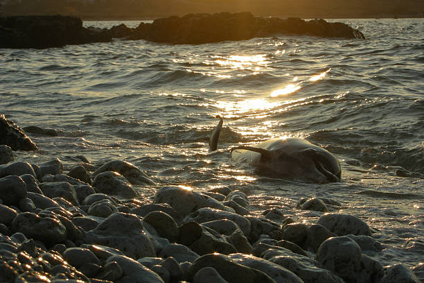 dolphin dead sea ocean nature pollution kill mortal sunset dead dolphin lies on the rocky shore at sunset aground stock pictures, royalty-free photos & images