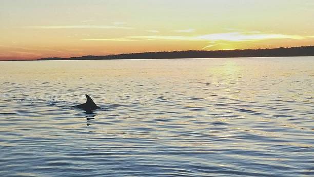 Dolphin Fin Swimming, Twilight Sunset, Hilton Head Island, South Carolina stock photo