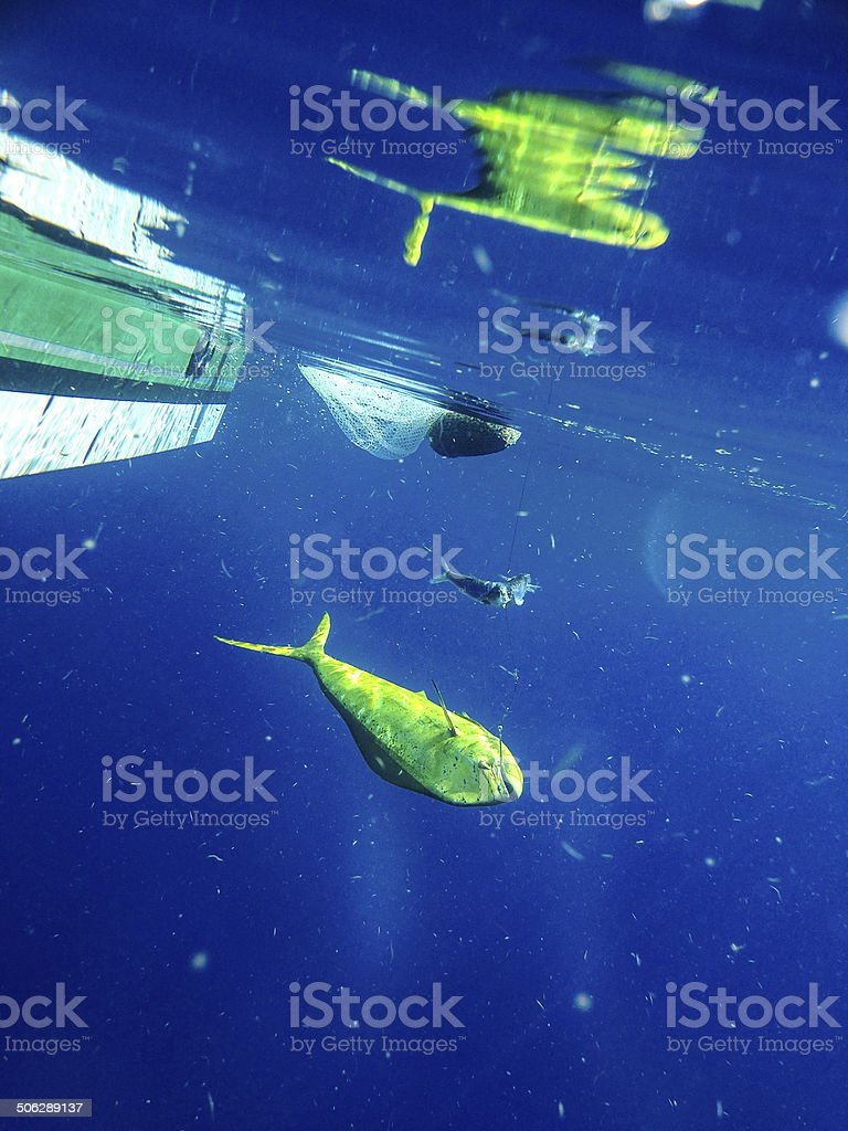 Dolphin fish on a hook stock photo