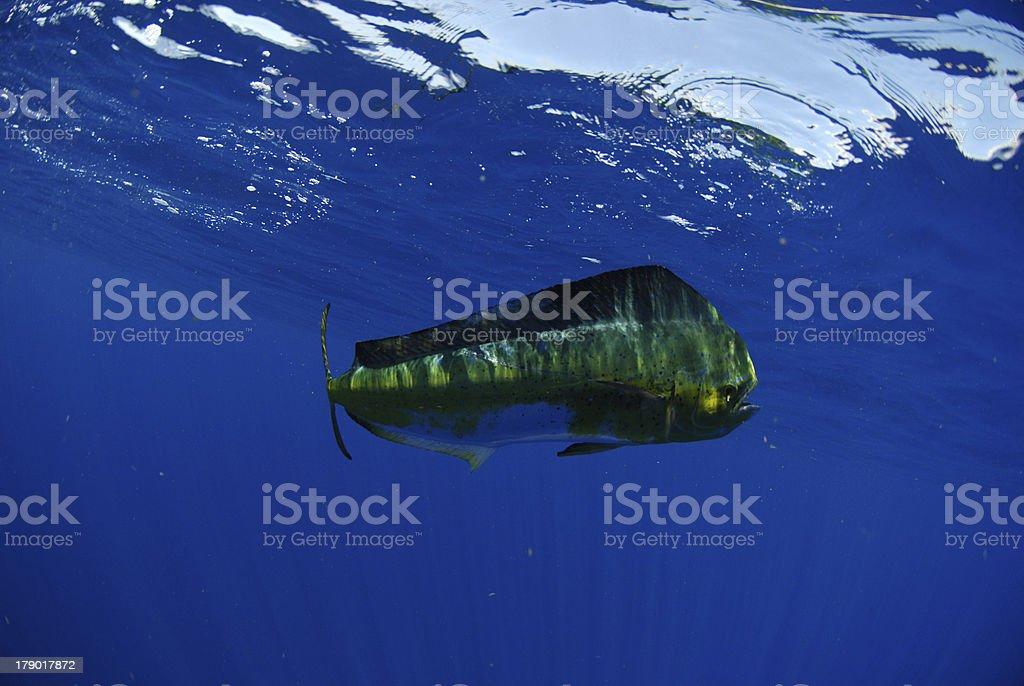 Dolphin fish swimming underwater in ocean stock photo
