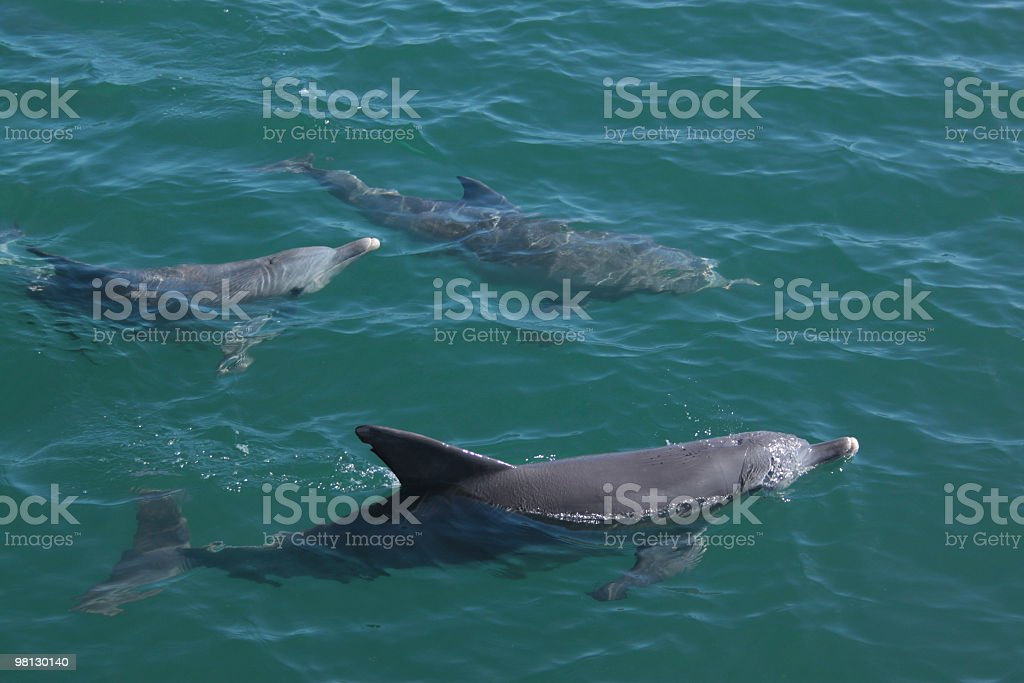 dolphin group royalty-free stock photo