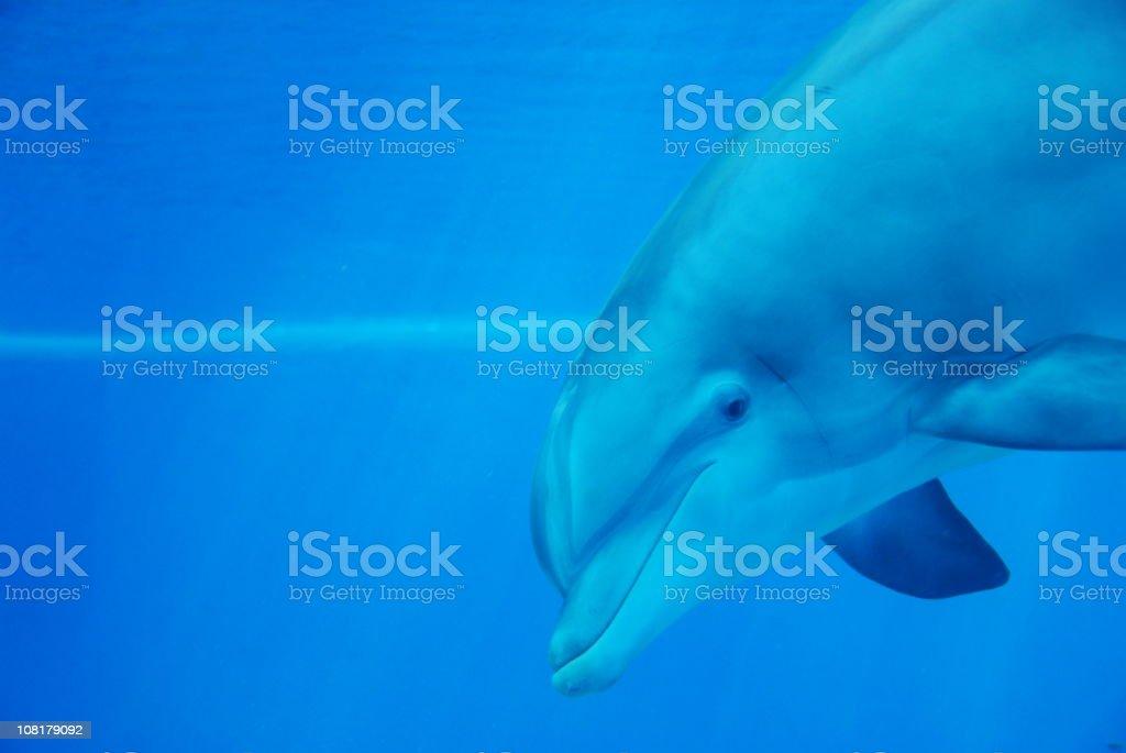 Dolphin Headshot royalty-free stock photo