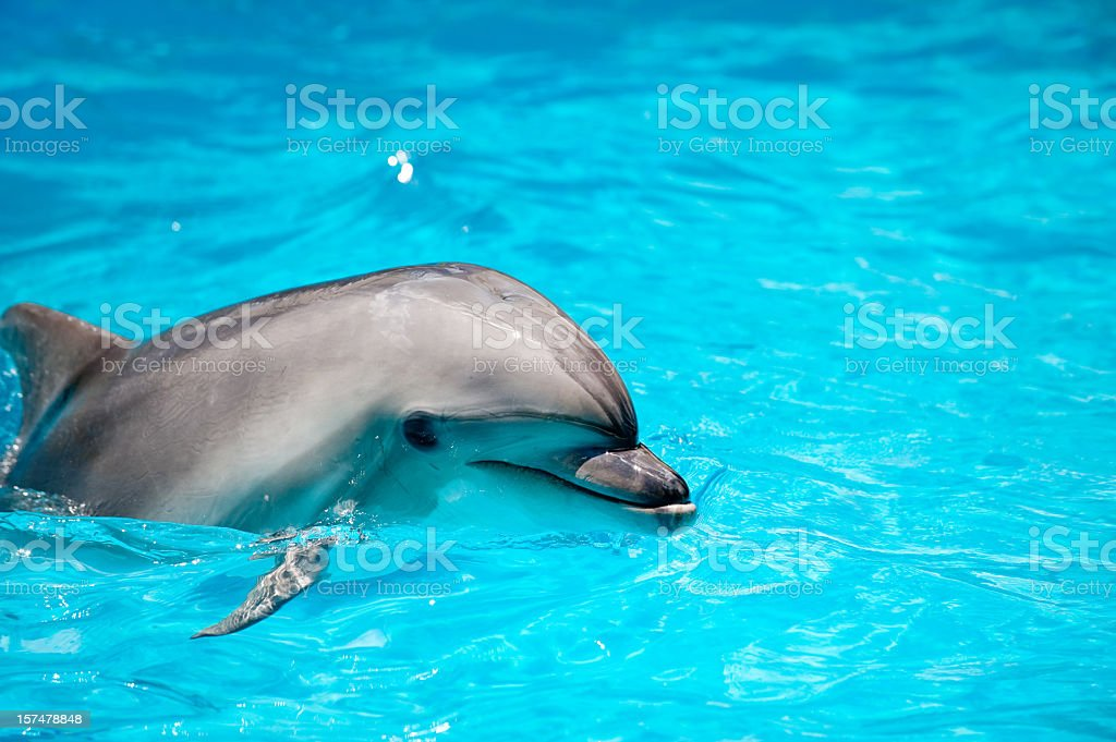Dolphin in a blue water royalty-free stock photo
