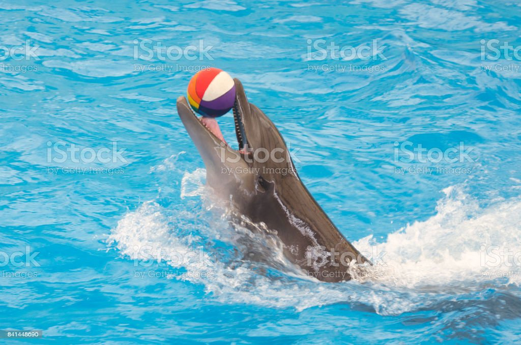 dolphin in pool stock photo