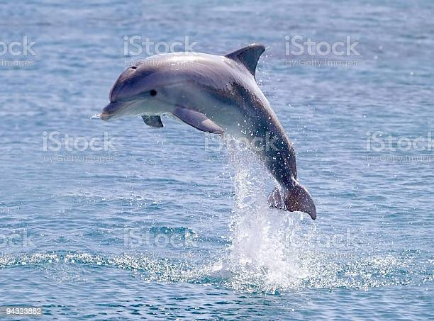 Dolphin jump out of the water in sea picture id94323862?b=1&k=6&m=94323862&s=612x612&h=nkguh7xrcemie7c1vevmqk84yfhmbl6nh3bs9vpsykm=