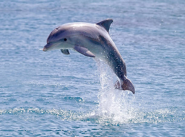 dolphin jump out of the water in sea dolphin jump out of the water in sea dolphin stock pictures, royalty-free photos & images
