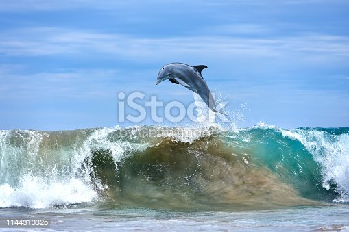 One dolphin jumping at the ocean waves, Hawaii.