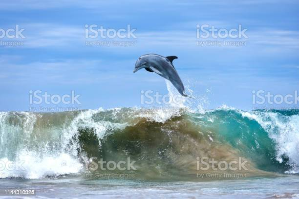 Dolphin jumping at ocean waves hawaii picture id1144310325?b=1&k=6&m=1144310325&s=612x612&h=5h0minti 871e4814iy9x87sulaph3q5v9xbutqonok=