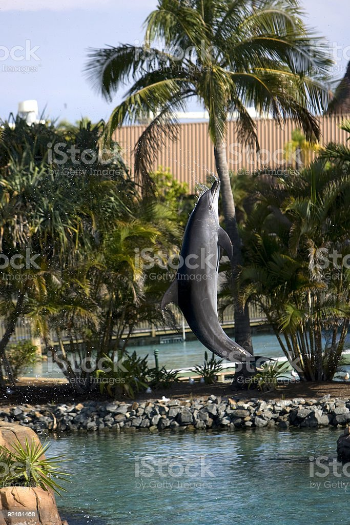 Dolphin jumping high in a show royalty-free stock photo