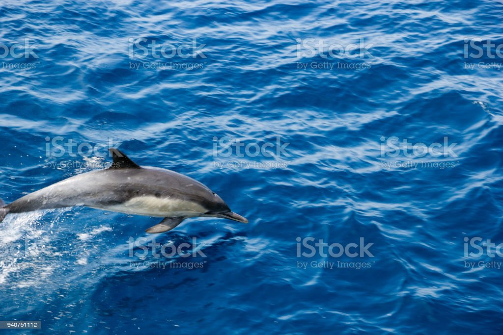 Dolphin Jumping out of  Ocean stock photo