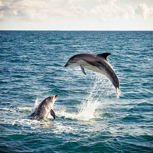 Dolphin Leap Two bottlenose dolphins playing in the ocean in New Zealand's Bay of Islands. dolphin stock pictures, royalty-free photos & images