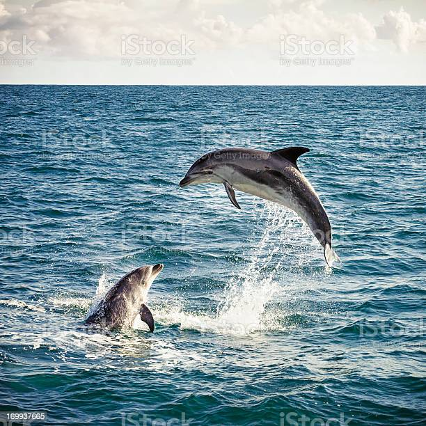 Two bottlenose dolphins playing in the ocean in New Zealand's Bay of Islands.
