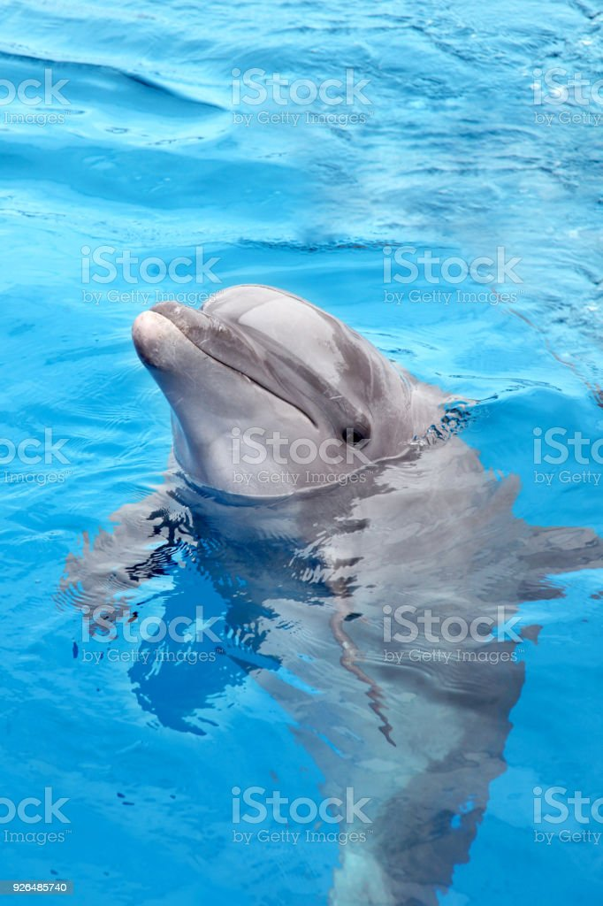 Dolphin looking out of the water & swimming in beautiful blue sea, Puerto Vallarta, Mexico. stock photo