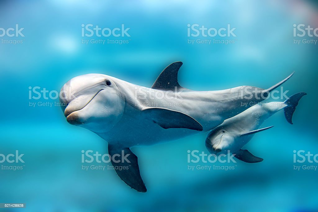 Dolphin mother and calf Underwater looking at you stock photo