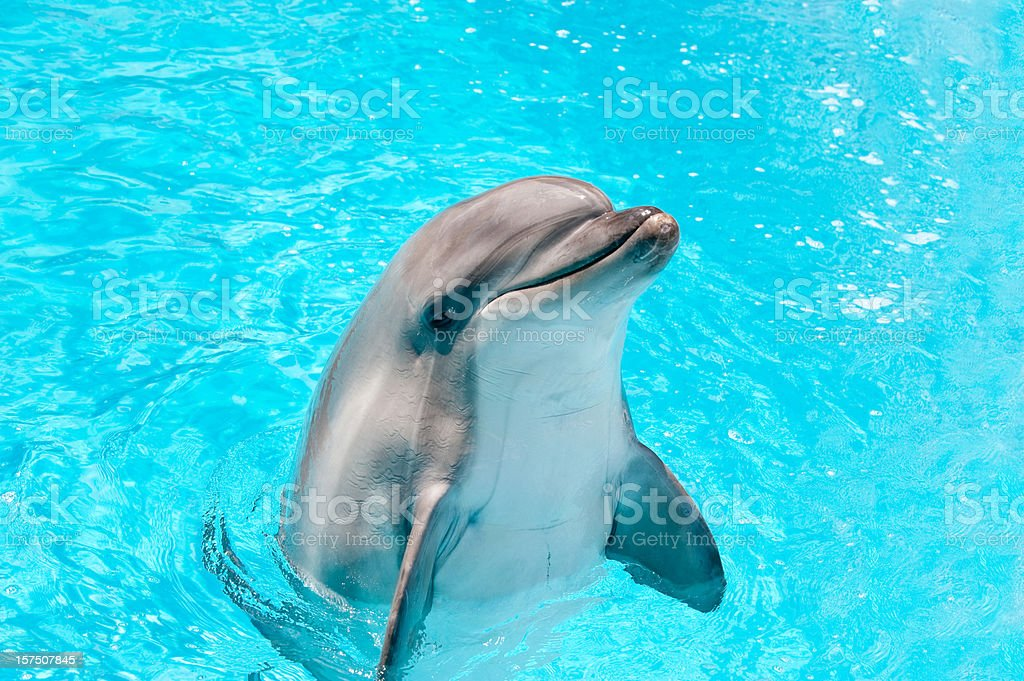 Dolphin peeking out of blue water stock photo