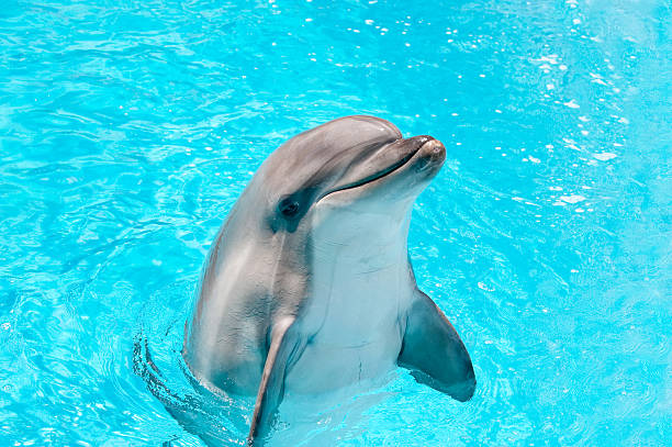 Dolphin peeking out of blue water Dolphin in a blue water dolphin stock pictures, royalty-free photos & images