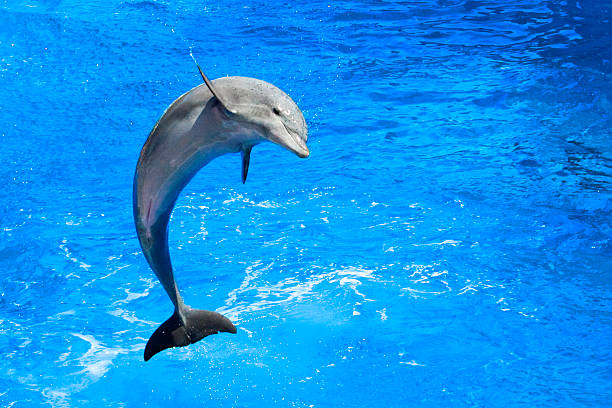 Dolphin Dolphin Jumping dolphin stock pictures, royalty-free photos & images