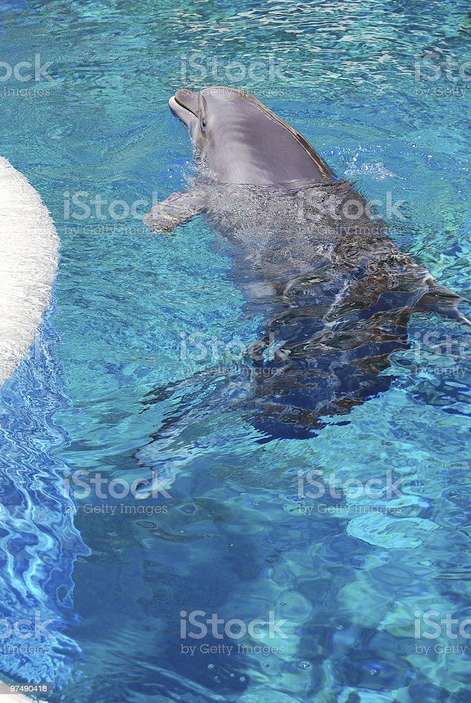 Dolphin royalty-free stock photo