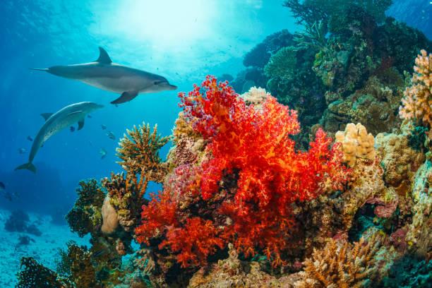 dolphin  sea life  school of dolphines  coral reef underwater  scuba diver point of view  red sea nature & wildlife - parzydełkowce zdjęcia i obrazy z banku zdjęć