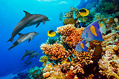 Dolphin  Coral reef   Sea life  school of dolphines  Underwater  Scuba diver point of view  Red sea Nature & Wildlife