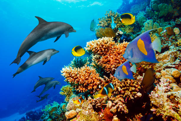 Dolphin  Sea life  school of dolphines  Coral reef Underwater  Scuba diver point of view  Red sea Nature & Wildlife Dolphin  Coral reef   Sea life  school of dolphines  Underwater  Scuba diver point of view  Red sea Nature & Wildlife anemonefish stock pictures, royalty-free photos & images