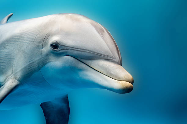dolphin smiling eye close up portrait detail tursiop dolphin portrait detail of eye while looking at you from ocean dolphin stock pictures, royalty-free photos & images