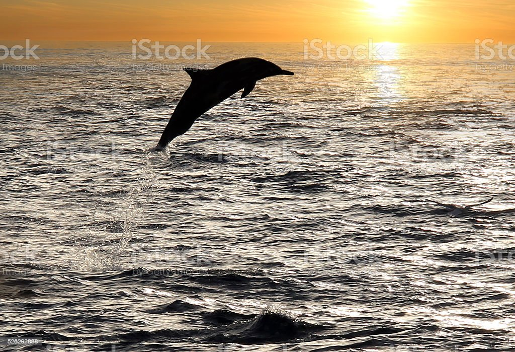 Dolphin Sunset stock photo