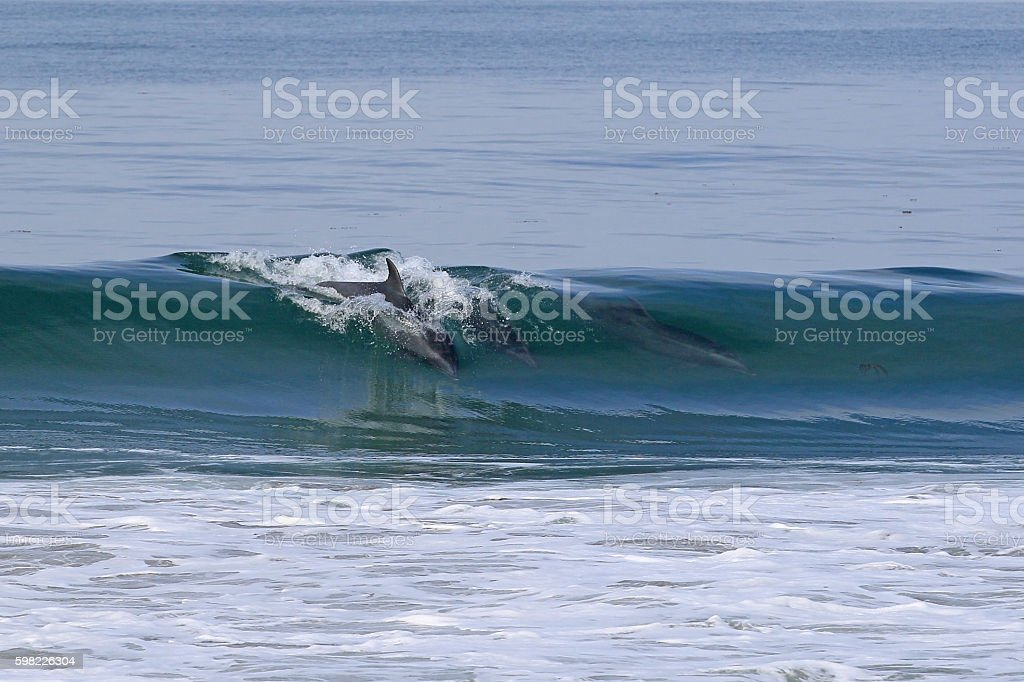 Dolphin surfing in waves along California coast foto royalty-free