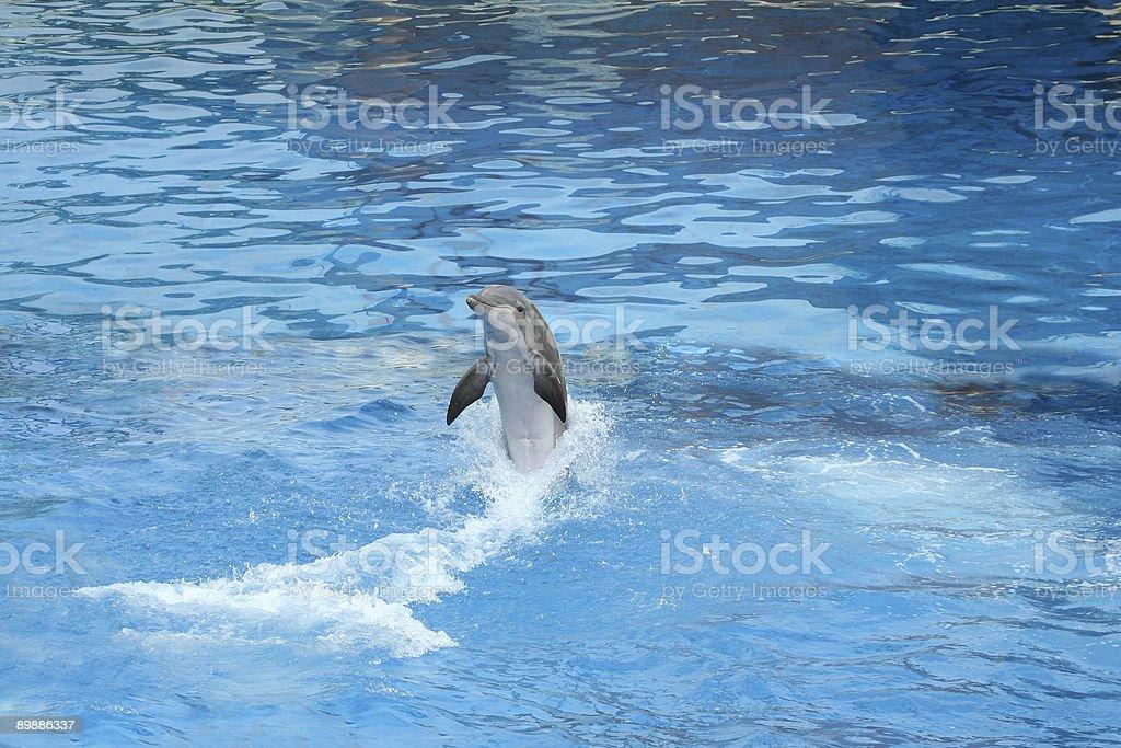 Delfino nuoto all'indietro foto stock royalty-free