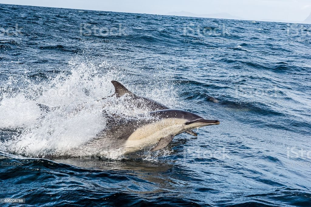 Dolphin swimming in the ocean stock photo