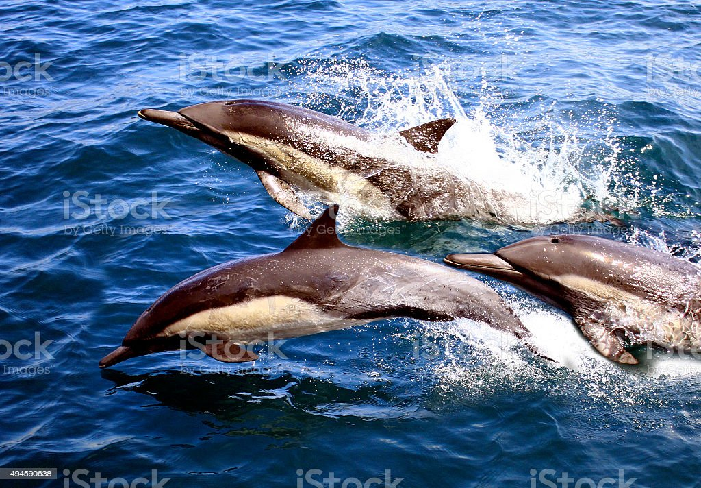 Dolphin Trio - Three Pacific Common Dolphins stock photo