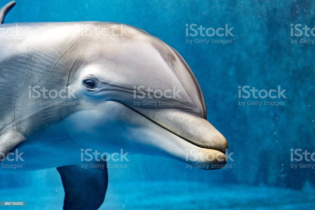 dolphin underwater looking at you stock photo