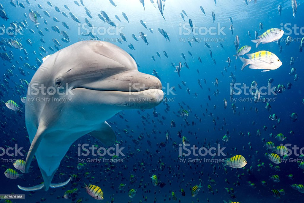 dolphin underwater on blue ocean background stock photo