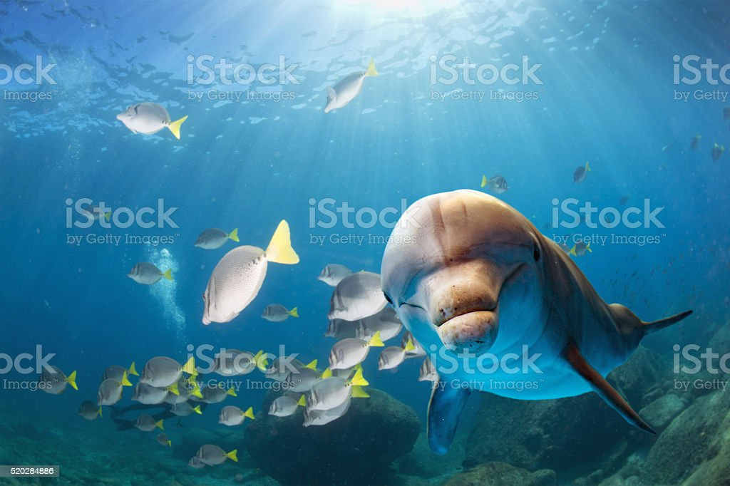 dolphin underwater on blue ocean background stock photo