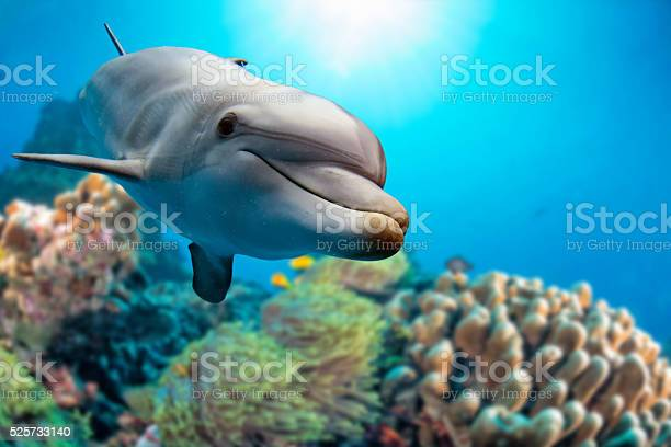 dolphin underwater on reef background looking at you