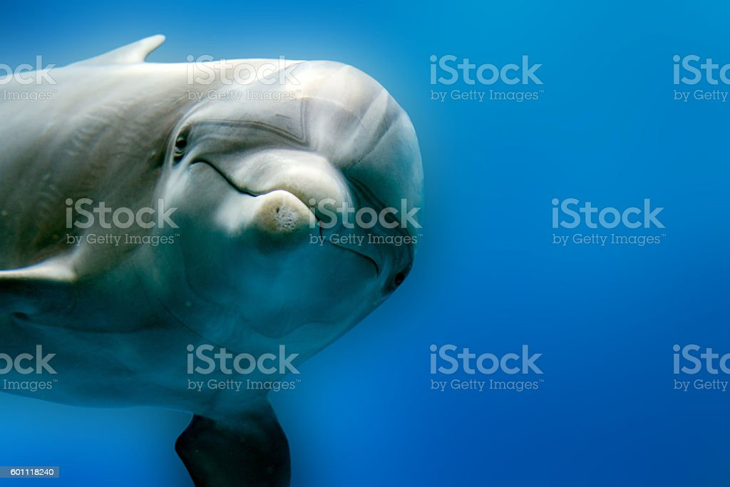 dolphin underwater on reef close up look stock photo