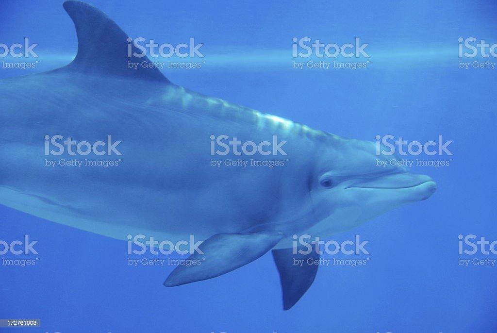 Dolphin underwater royalty-free stock photo